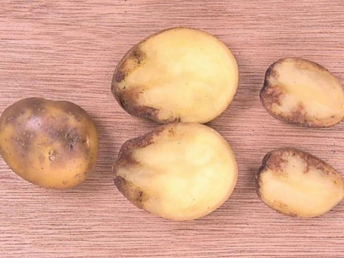 Фитофтора на картофеле, клубни картофеля