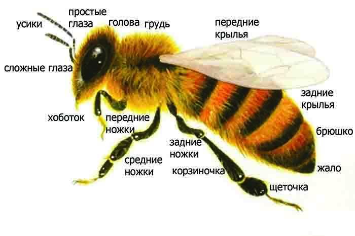 Фото строение пчелы