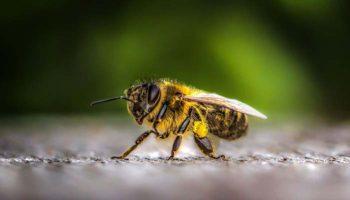 Характеристики приокской породы пчел