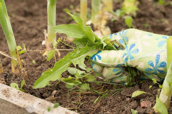 Химия, электричество или прополка: что эффективнее от сорняков?