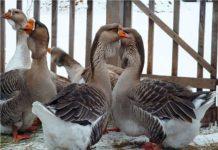 Холмогорская порода гусей