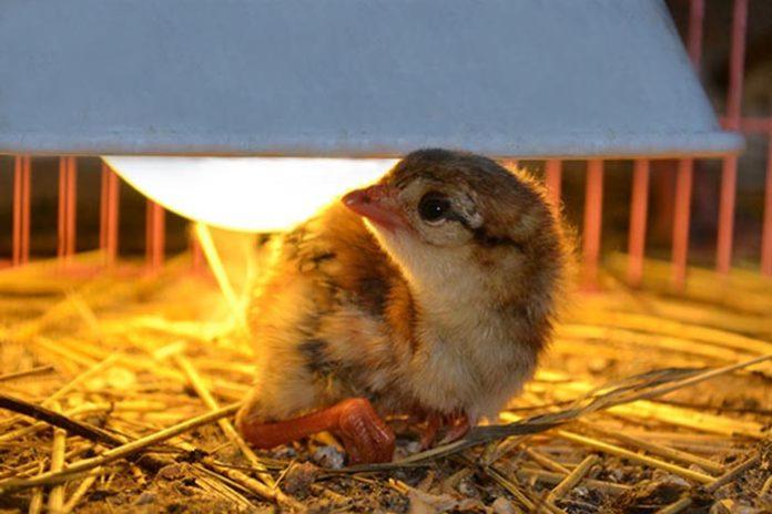 Инкубация фазанов особенности