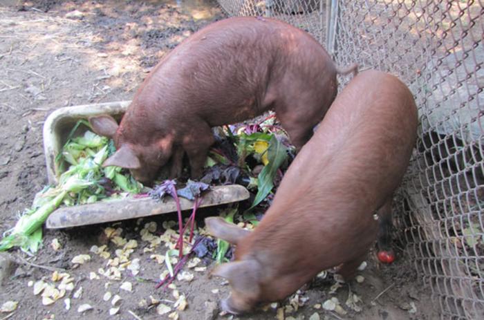 Как кормить свинок в домашних условиях правильно