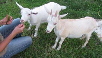 Как купить хорошую козу