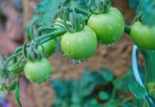 Как лучше подкормить томаты летом?