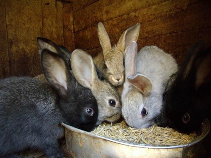 месячные кролики чем кормить