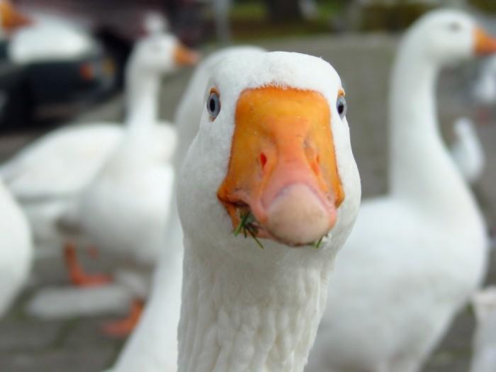 Как выращивать гусей