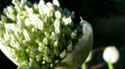 Как вырастить семена репчатого лука?