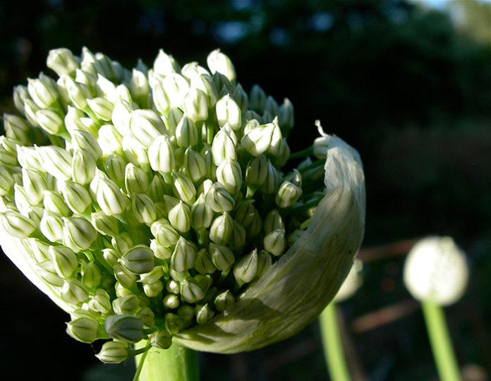 Как вырастить семена репчатого лука