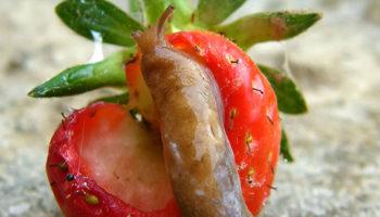 Как защитить клубнику (садовую землянику) от слизней?