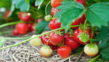 Как защитить ягоды садовой земляники?