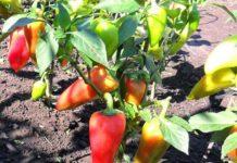 Календарь подкормки перцев чем удобрять в грунте и теплице после высадки
