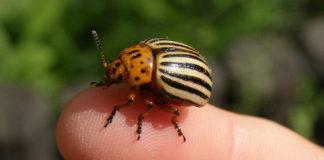 Корадо и другие препараты от колорадского жука