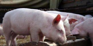 Корм для свиней для быстрого роста