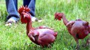 Редкие породы кур