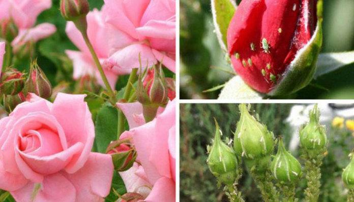 От тли на розах помогут народные средства сода и нашатырный спирт