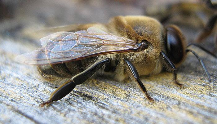 Кто такой трутень, роль в пчелиной семье, фотографии особи