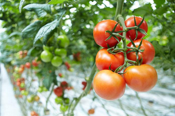 Почему скручиваются листья на помидорах