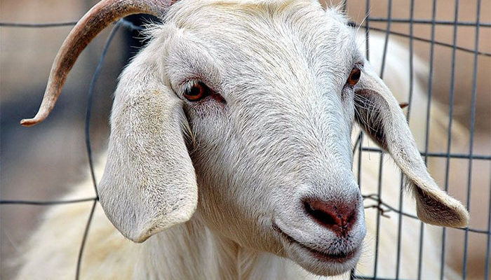 Половая охота у коз