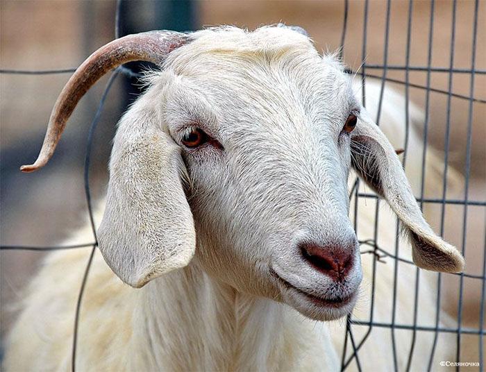 Что делать, если коза не приходит в охоту: почему козочка не гуляет и как вызвать охоту