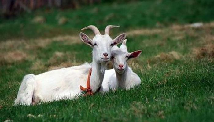 Прививки козам