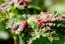 Пузыри на смородине виновата красногалловая тля