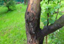 Рак плодовых деревьев профилактика и лечение