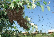 Роение как генетическая особенность пчел