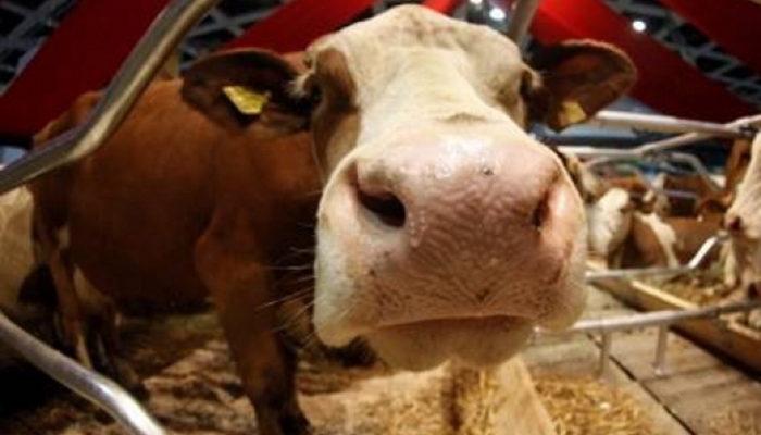 Рогатый скот в ЕАО заболел бруцеллезом