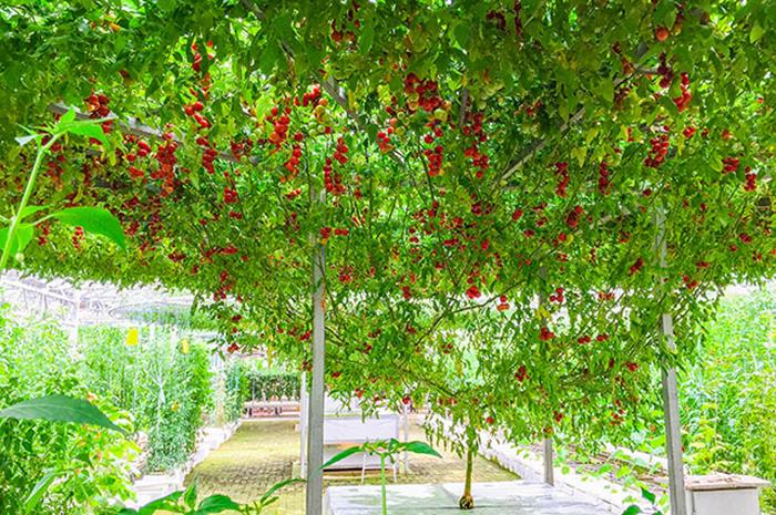 Существует ли помидорное дерево?