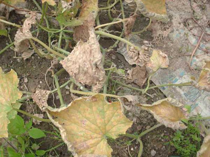 У огурцов желтеют и сохнут листья