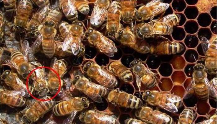 Варроатоз пчел