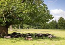 Ветеринары Подмосковья предупредили об угрозе теплового удара для свиней, коров, лошадей и кроликов