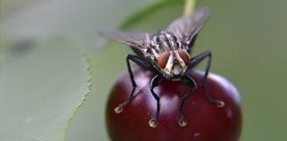 Вишневую муху можно назвать и черешневой