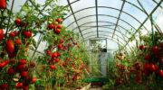 Всякий томат алкоголю рад?