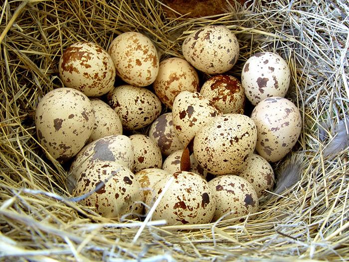 Яйценоскость перепелов