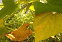 Желтеют листья у огурцов в теплице причина и решение проблемы