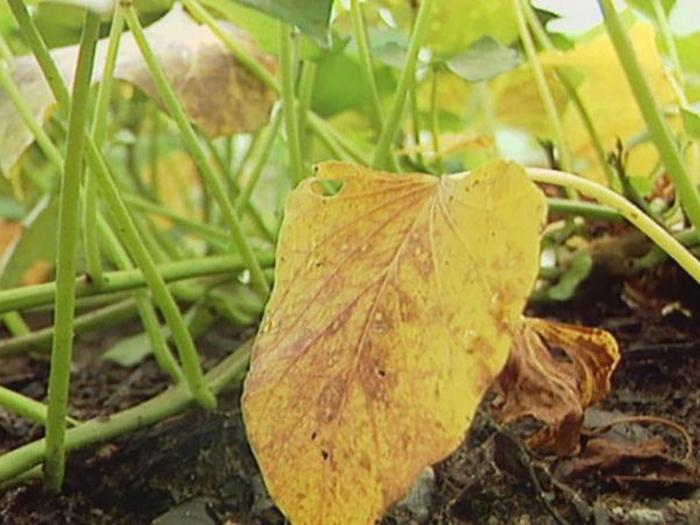 Желтеют нижние листья у огурцов