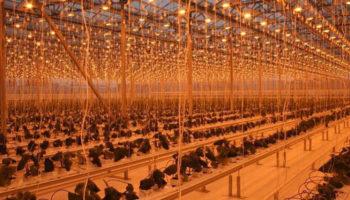 Правительство Алтайского края намерено продать крупнейший в Сибири тепличный комплекс «Индустриальный»