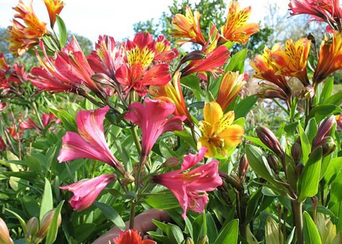 Альстромерия перуанская лилия в цветнике