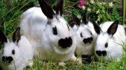 Бабочка: оригинальная пород кроликов