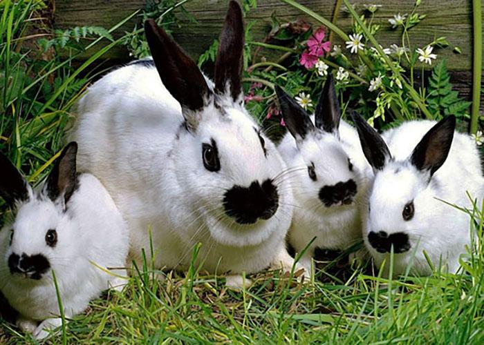 Бабочка оригинальная пород кроликов