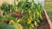 Что делать, чтобы у перцев не желтели листья