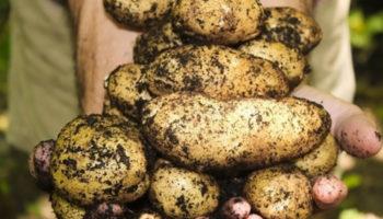 Эксперт рассказала, как спасти урожай картофеля в дождливую погоду