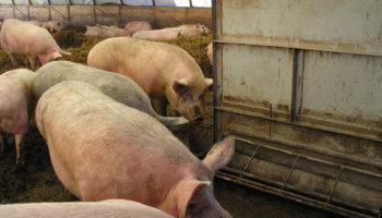 Использование глубокой подстилки с бактериями при содержании свиней