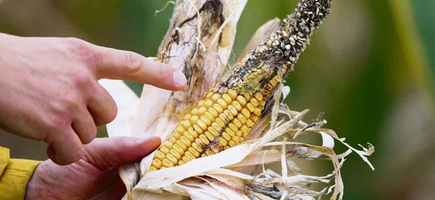 Каким болезням подвержена кукуруза