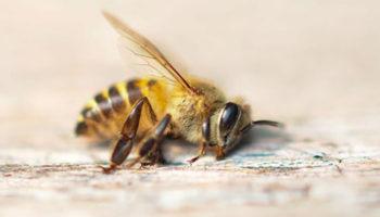 «Катастрофы нет»: глава Минсельхоза Удмуртии прокомментировала массовую гибель пчел