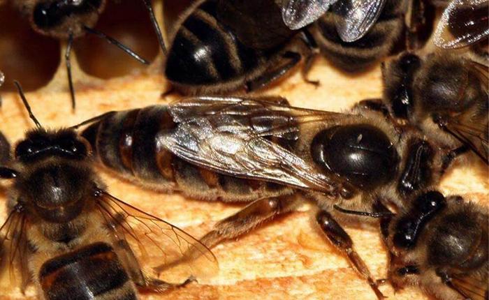 матка среднерусской пчелы