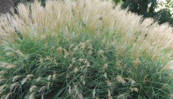 Эффектное злаковое растение Мискантус: посадка и уход