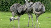 Породы страусов